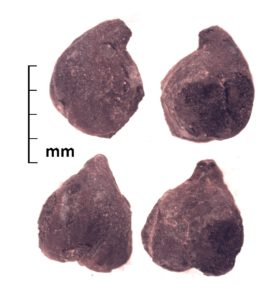 Chickpea (Cicer arietinum) from the ancient Silk Road urban center of Tashbulak (ca. A.D. 1100), in the mountains of Uzbekistan
