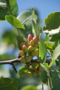Pistachios growing in the mountain foothills of Uzbekistan in 2010, an arboreal crop that originated somewhere in this broad geographic region